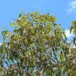 Jarrah tree